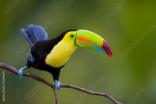 Foto op Plexiglas Toekan Keel Billed Toucan, from Central America.