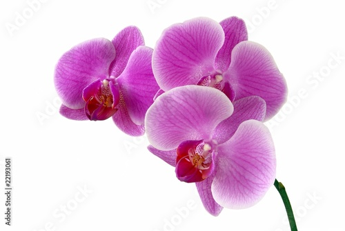 Garden Poster Orchid lila orchid