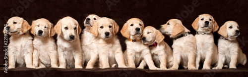 Fototapeta puppy-dogs