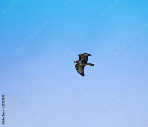 Foto op Canvas Luchtsport Common Buzzard 2