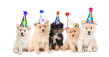 Five Pomeranian Puppies Celebrating A Birthday