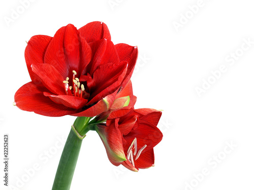 Canvas Print Amaryllis flower