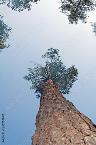 Photo sur Aluminium Sur le plafond pine tree trunk