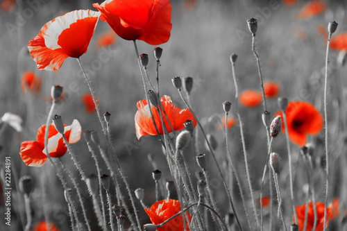 Montage in der Fensternische Mohn red poppies on field