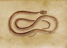 Vintage Snake (late 1800 Illustration)