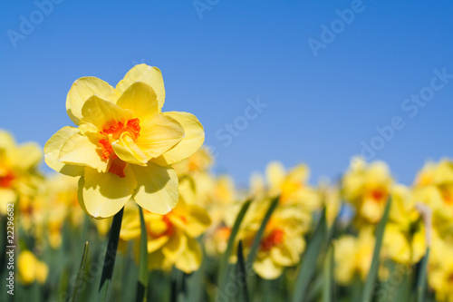 Recess Fitting Narcissus Yellow flower in a field - Narcissus