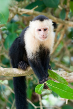White Faced Capuchin Monkey.