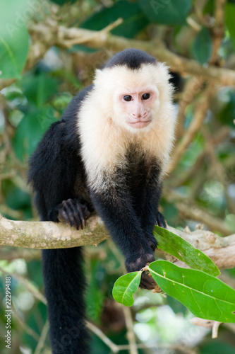 Valokuva  White faced Capuchin Monkey.