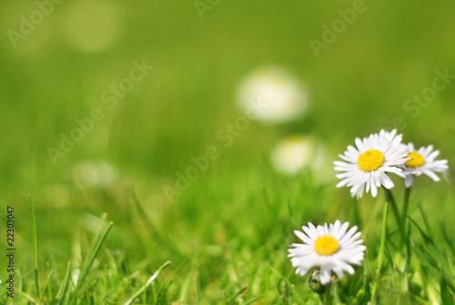 In de dag Madeliefjes Gänseblümchen auf dem Rasen