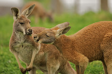 Two Kangaroos Sharing A Clover Together.