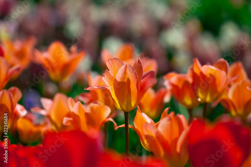Foto op Canvas Cappuccino Red tulips