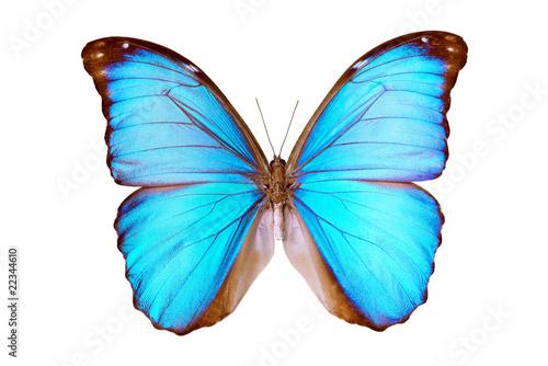 Fototapeta  Butterfly - Morpho Menelaus Terrestris