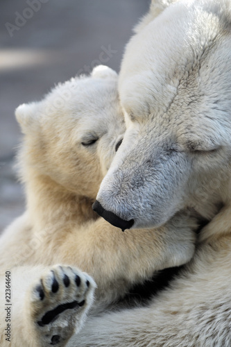Cuadros en Lienzo Little polar bear cub playing with his mom