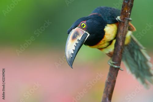 In de dag Toekan Collared Aracari, a Toucan from Central America.