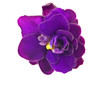 canvas print picture - single dark violet flower on white