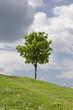 Zielone pole i samotne drzewo