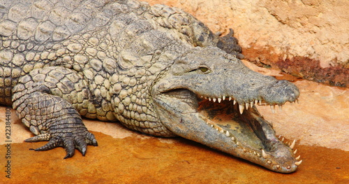 Foto op Plexiglas Krokodil Croco