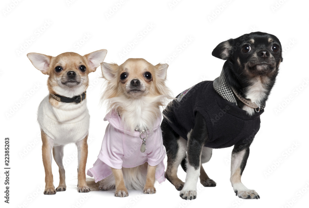 Three Chihuahuas, 1 and 3 years old