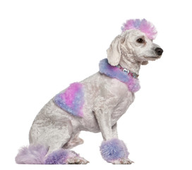 Panel Szklany Pies Groomed poodle with pink and purple fur and mohawk, 1 year old