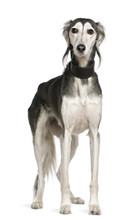 Saluki Dog, 12 Years Old, Standing In Front Of White Background