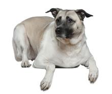 Anatolian Shepherd Dog, 5 Year...