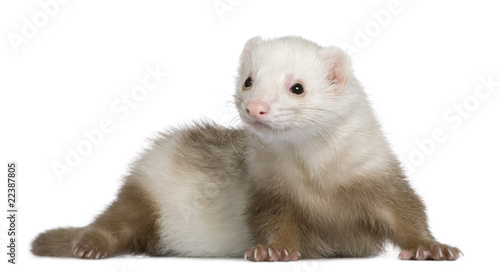 Fotografering  Ferret, 1 and a half years old, in front of white background