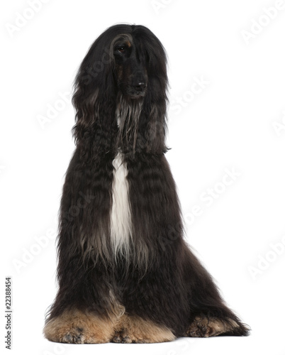 Afghan Hound, 4 years old, sitting in front of white background Wallpaper Mural