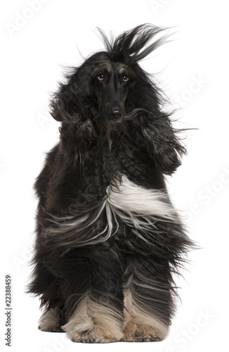 Photo Afghan Hound with his hair in the wind, 4 years old