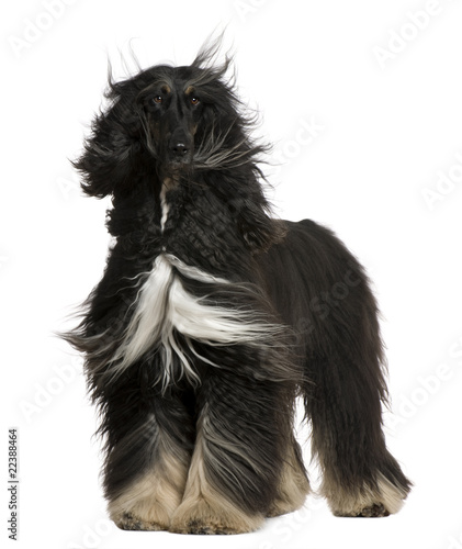 Afghan Hound with his hair in the wind, 4 years old Canvas Print