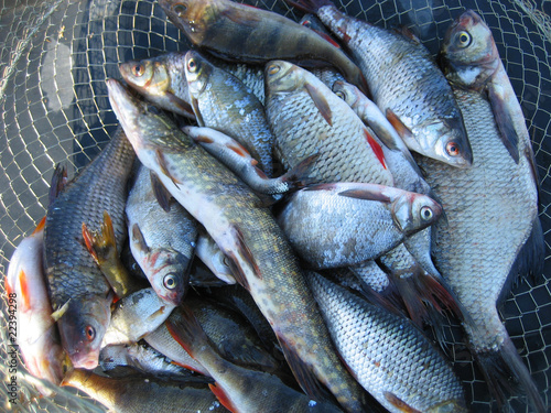 Canvas Print Fish sage