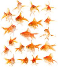 Set Of Goldfishes