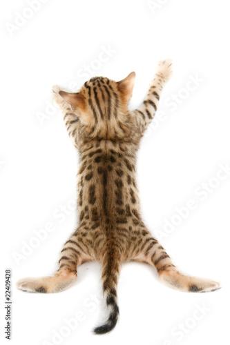 Poster Leopard Bengal kitten