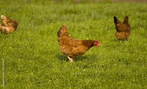 Cadres-photo bureau Poules hen