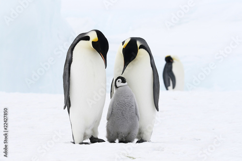 Photo Stands Antarctic Emperor penguins on the sea ice in the Weddell Sea, Antarctica