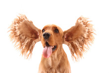 Cocker Spaniel With Flying Ear...