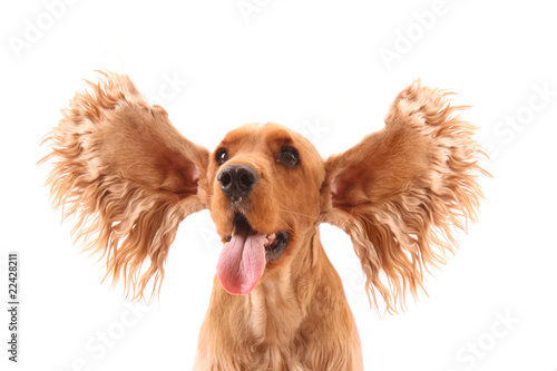 Cocker spaniel with flying ears isolated on white. Very expressi © Africa Studio