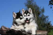 Deux Chiots De Race Siberian Husky Très Tendres