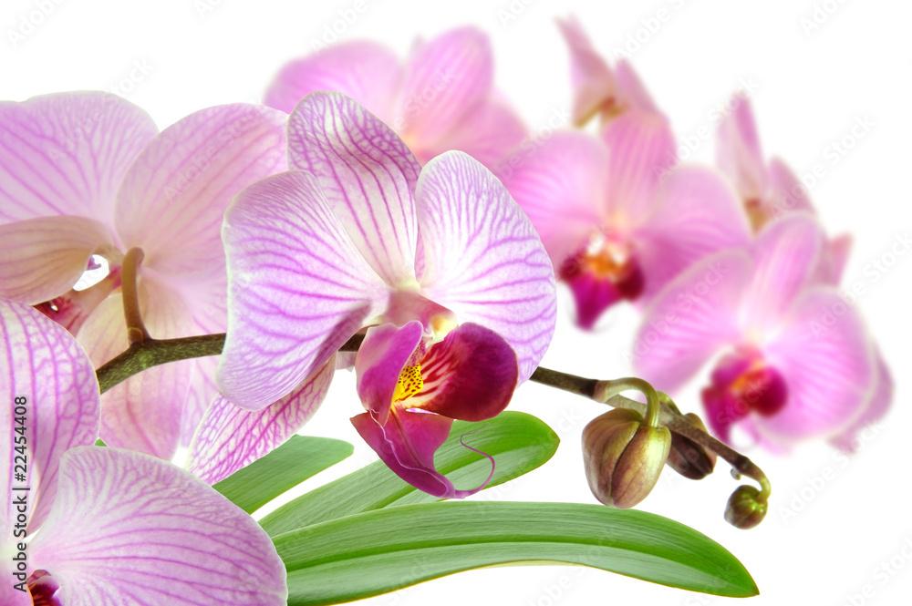 Fototapety, obrazy: Orchideen 15.1