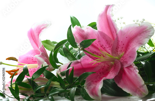 Papel de parede Pink lillies on white background