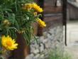 Sunny flowers in the nostalgic town Røros