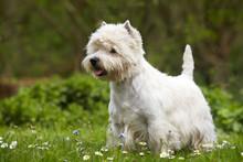 West Highland White Terrier In Alert Pose