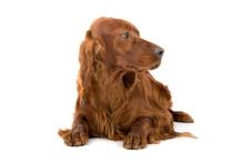 Resting Time For An Irish Setter Dog (red Setter)