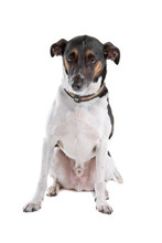 Smooth Fox Terrier Isolated On A White Background