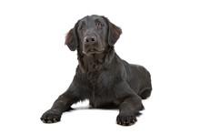 Flat Coated Retriever Dog Isolated On A White Background