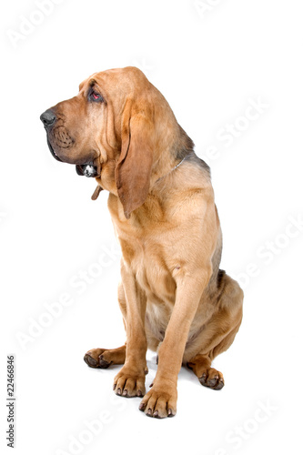 bloodhound (st.hubert or sleuth) isolated on a white background Fototapet