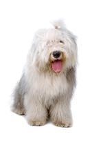 Old English Sheepdog (bobtail) Isolated On A White Background