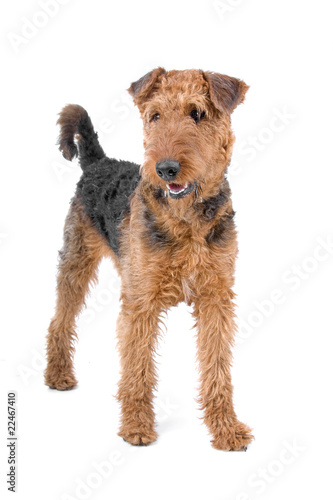 airedale terrier dog Canvas Print