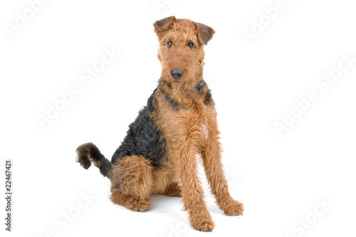 Photo Airendale Terrier