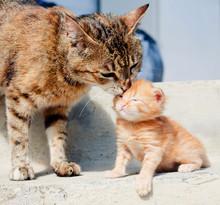 Cat Is Licking Her Kitten