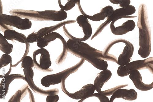 Fotografia, Obraz  tadpole